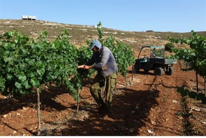 Jewish farmer tends his vineyard (file)