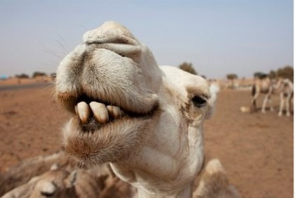 Camels rest at a watering hole in Mauritania