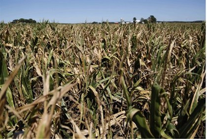 Underdeveloped corn crops, which have been affected by heat and drought