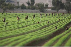 Irrigation in southern Israel