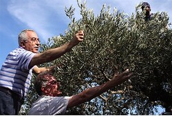 Fayyad picks olives (archive)