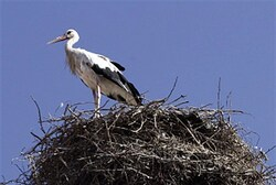 Stork (illustrative)