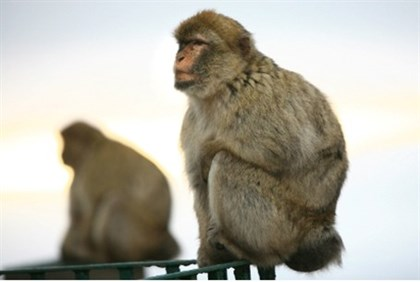 Monkey may find himself on Iranian satellite