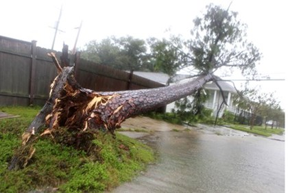 Tree uprooted and flung on to power lines by Isaac