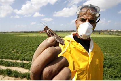 Farmer holds locust in Gaza