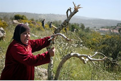 Olive harvest 'blood libel' in Samaria
