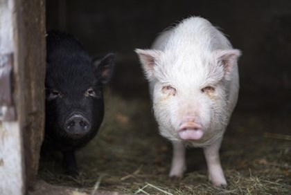 Baby pigs...offensive? (illustration)