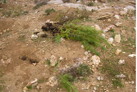 Trees planted by Jews and uprooted by Arabs