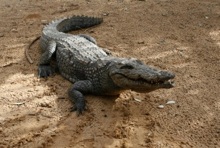 Crocodile in the zoo in Khan Younis in southe