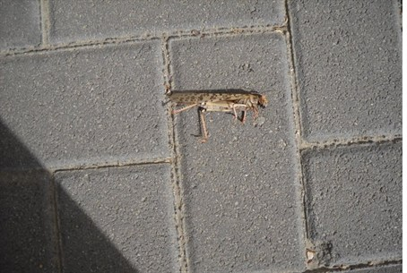 Locust dies in Jerusalem neighborhood of Pisg