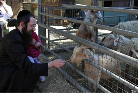 Feeding goats in Gush Etzion