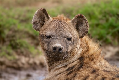 Hyena (illustrative)